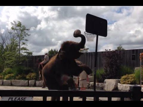 Elephant Dunks Basketball
