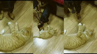 Baby Cat vs Dachshund dog & more Funny Cats ;)