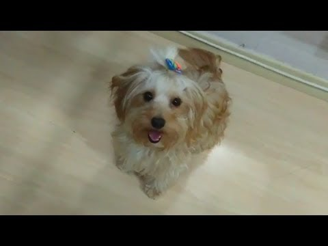 lovely-yorkipoo-cute-jumping