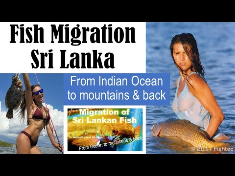 Fish Migration In Sri Lankan Fresh Waters -
