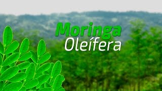¿Que es la Moringa?   documental Argentina