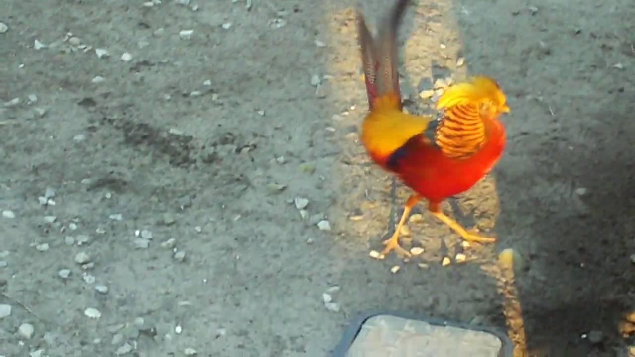 my golden pheasants youtube