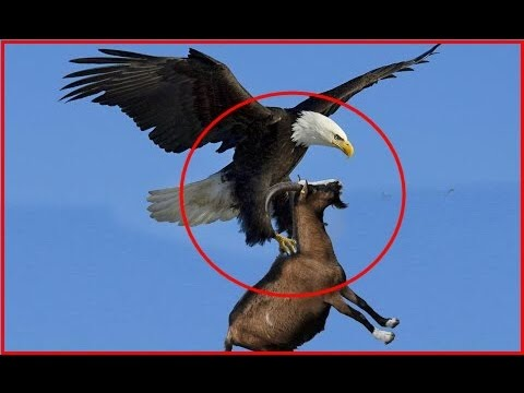 Eagles Lifts Dog - Eagles VS Goat - Eagles Attack, Kill and Eat Mountain Goat