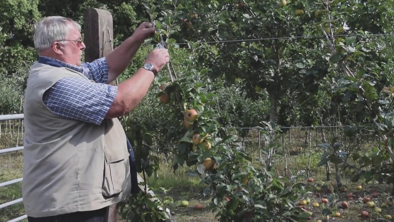 Summer Pruning Of Cordon Fruit Trees Youtube