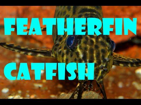 Upsidedown Featherfin Catfish - Fish In The Spotlight