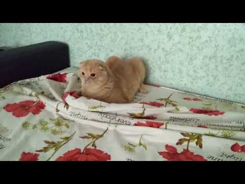 Shorthair Scottish Fold breed a mess