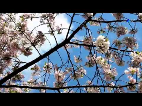 ♡ Sound Of Silence - FRANCIS GOYA (romantic Guitar In Spring)