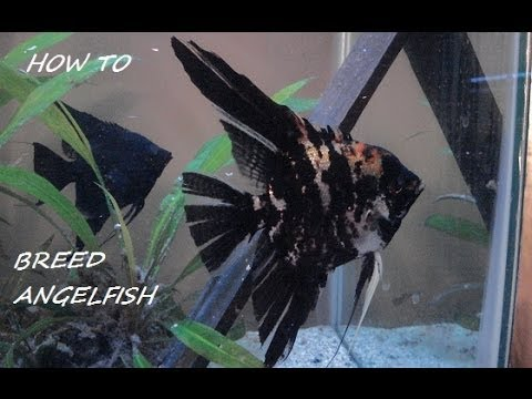 how to breed freshwater angelfish Angelfish who are ready to breed will select mates on their own.