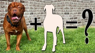 Top 8 Incredible French Mastiff Cross Breed Dogs | Dogue de bordeaux Mixes