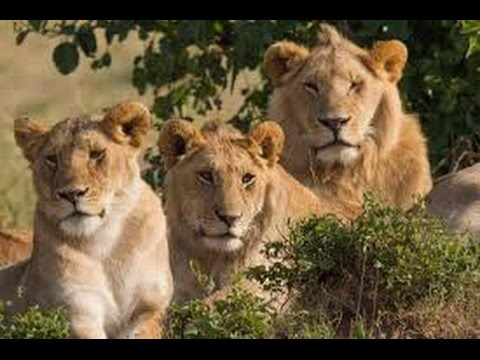 Gir national park home of the best asiatic lions
