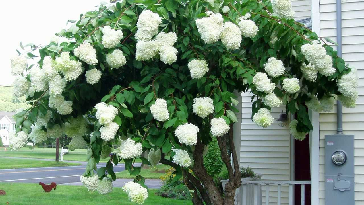 Gee Pg Tree Hydrangea Paniculata Grandiflora Late Summer Flowering Shrub