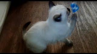 Моя тайская кошечка Сима