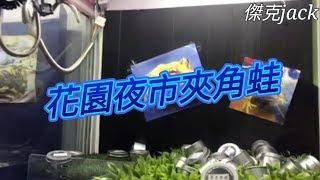 台南花園夜市夾角蛙!!!黃金角蛙【傑克jack】