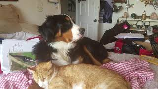 Bernese Mountain Dog cuddles with cat