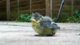cute blue tit chick
