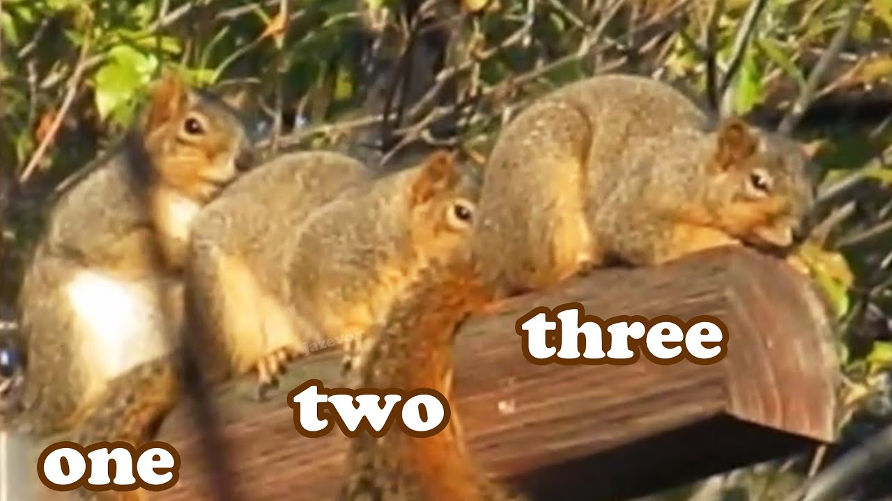 Raccoon Deterrent Wild Grey Gray Squirrels - Cute Baby Squirrel Animal - Wildlife ...