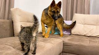 German Shepherd Puppy is afraid of new baby Kitten!
