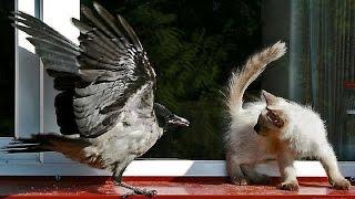 Кто окажется хитрей, ворона или кошка?! Ворона жжет!