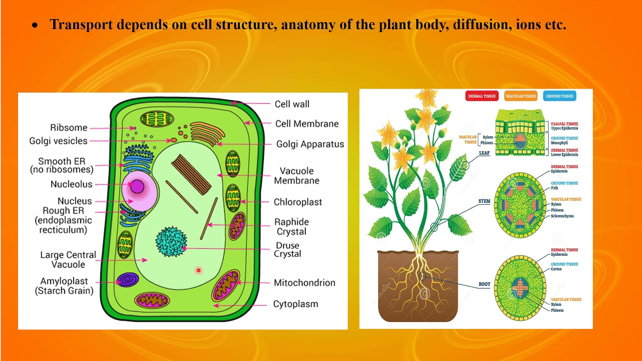 I PUC/ BIOLOGY/ TRANSPORT IN PLANTS-01