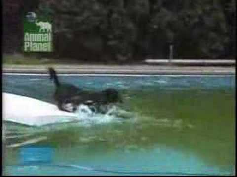 Dog Tries to Get Ball Out of Pool