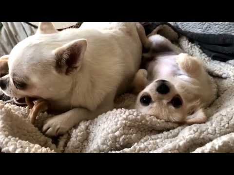 Teeny tiny chihuahua puppy tries to get his dad to share! You've got to see how he does it!