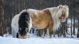 سلالات خيول غريبة ربما لم تسمع عنها من قبل !