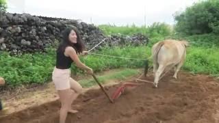 farming a field with an ox in nanliao penghu taiwan