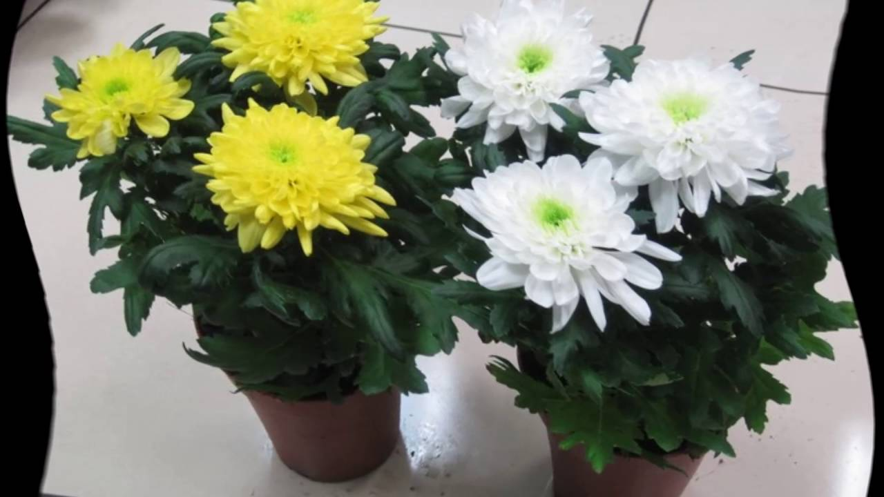 хризантема домашняя пересадка после покупки