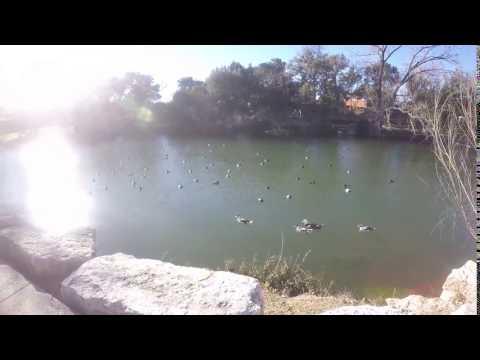 Ducks At City Park ( Boerne,TX)