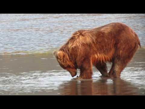 Bears Clamming in Silver Salmon Creek, Alaska