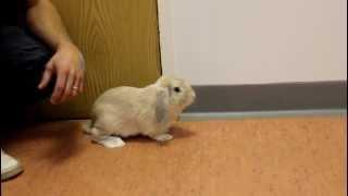 nibbler the rabbit first steps after broken leg repair