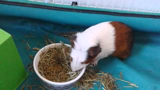 How to potty train your guinea pig and tips