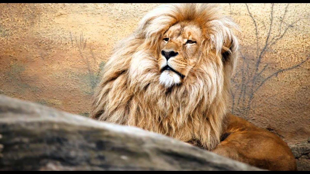 Звуки животных и птиц, для детей. Лев, коала, петух. - YouTube