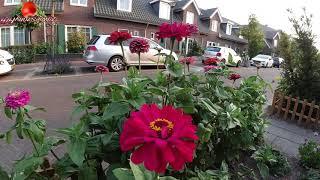 """Życie w Holandii. Pierwsze """"slow motion"""" z trzmielem w tle. """"4K"""""""