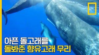 장애를 지닌 돌고래를 돌봐준 향유고래들