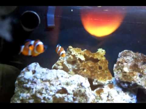 f 233 vrier 2011 aquarium nano recifal eau de mer 60l t