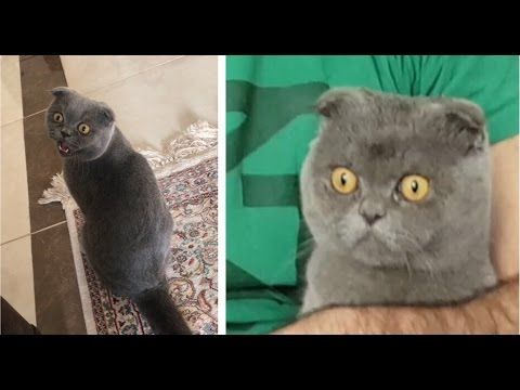Funny Cats Compilation 2017 [Try not to laugh] Scottish fold cat fail #1