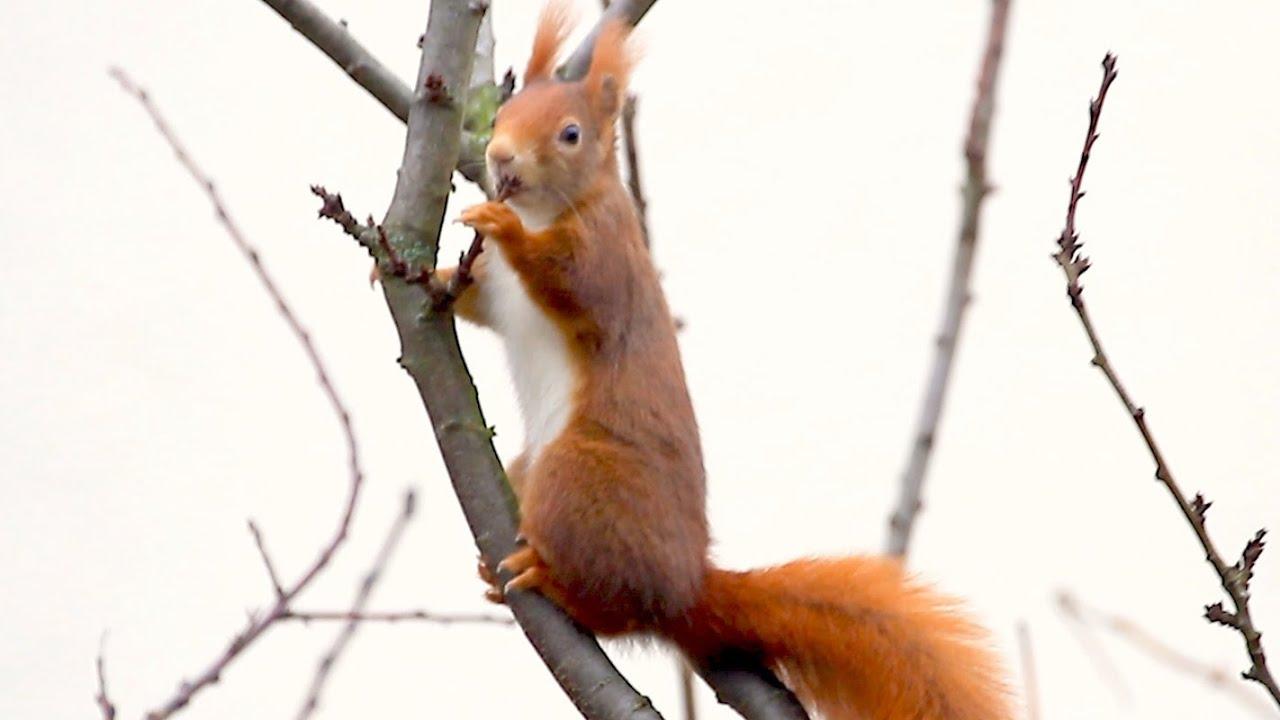 Eichhörnchen Baum