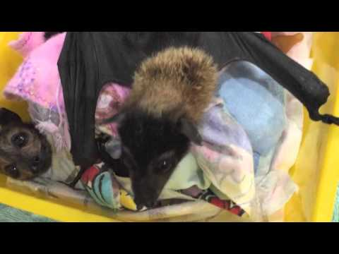 Baby bat escapes and looks for dinner.