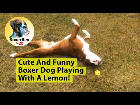 Cute And Funny Boxer Dog Playing With A Lemon! 😂