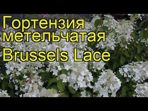 Гортензия метельчатая Брасселс Лейс. Краткий обзор, описание hydrangea paniculata Brussels Lace
