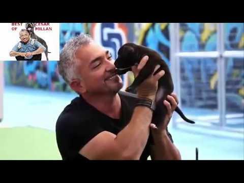 Cesar Millan's love of pitbulls