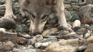 Дикая природа Аляски  Документальные фильмы, передачи HD  15 11 2016