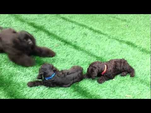 Chocolate Cocker Spaniel Puppies Belle's Blue & Orange Collar Boys at 8 wks w/ 5 month old Dolly.MOV