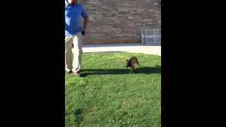 Pak Masters Dog Training With Luca The 9 Week Old Belgian Malinois Puppy