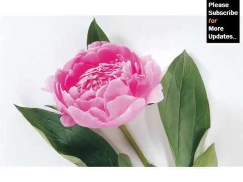 Ideas Of Peony Flower Collection Romance