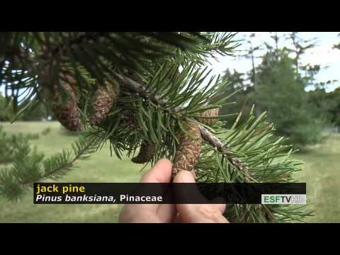 Trees With Don Leopold - Jack Pine