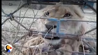Animal Rescuers RISK LIVES to Save Abandoned Zoo Animals in Syria | The Dodo