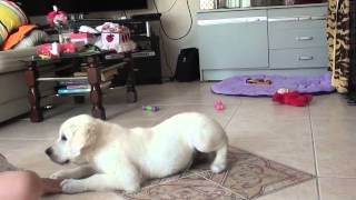 Sunny the Golden Retriever Puppy Training Session - 13 Weeks Old