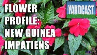 Flower Profile - New Guinea Impatiens